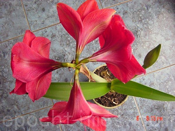 2月6日拍的照,有两个花枝,第一支还是四朵花。(尚天/大纪元)