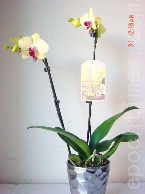 大女儿和女婿去年12月送我的台湾兰花,新买的花由于花盆小,都比较瘦小。(尚天/大纪元)