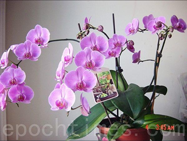 2010年老伴送我的台湾兰花,今年已经是第四年了,有5个花枝,还长出了一棵小苗。(尚天/大纪元)
