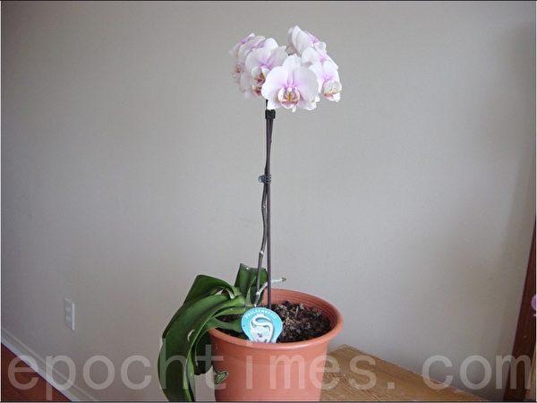 2012年小女儿和女婿送的台湾兰花,上个月送人家了,这是去年的倩照。(尚天/大纪元)