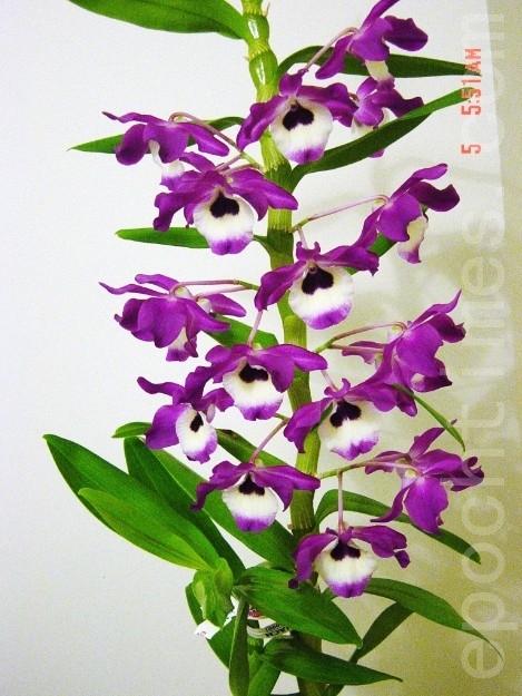 2013年3月24日我从花展买的石斛(胡)兰,当年11月开了19朵花。(尚天/大纪元)