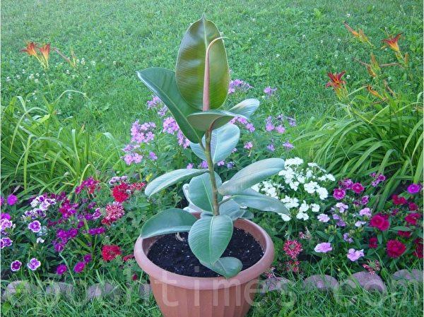 橡皮树。2002年朋友剪了一小枝给我,泡出根后种在花盆里。十一年来,剪枝繁殖多代。这是最后一棵橡皮树的倩照,去年已送给卖花生意的朋友了。(尚天/大纪元)