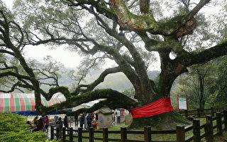 台湾之光!荣登世界神木网站的第一高樟树