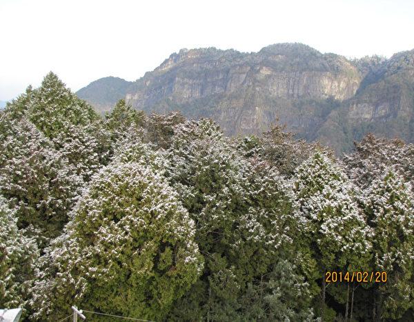 寒流来袭,阿里山气象站20日凌晨开始下雪,白雪妆点树林。(中央气象局提供)
