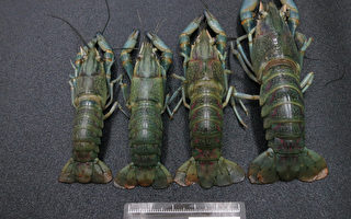 民间私养澳洲小龙虾(鳌虾)爆发须通报OIE疫情;但 渔业署未准许进口;对照草虾池边价1台斤新台币300元 ,鳌虾达400元。 (农委会提供)