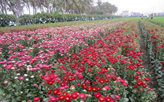 云南菊色彩多样,有红、蓝、紫、白、黄、桃红等,花农苏崑能在屏东县东港镇种了1公顷多的云南菊,形成当地另类景观。(屏东县政府提供)