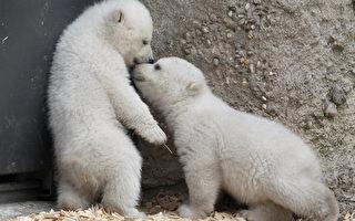 【视频】超可爱的龙凤胎小北极熊
