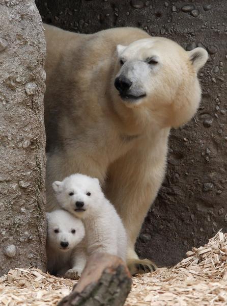 2014年3月19日,慕尼黑海拉布倫動物園,14週大的兩隻北極熊和母親喬凡娜在一起。(Alexandra Beier/Getty Images)