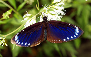 阿里山公路旁的触口自然教育中心园区,近来发现紫斑蝶翩翩现踪,民众与这一群美丽娇客邂逅,令人惊艳不已。(嘉义林管处提供)