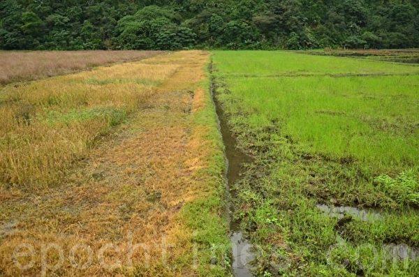倆佰甲的目標是將左邊慣行農法轉為右邊友善耕作。(倆佰甲提供)