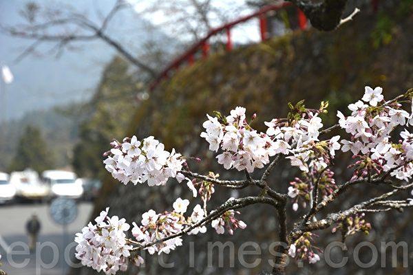 阿里山种植最多的吉野樱,白色花瓣,花心有一点深粉红。(赖瑞/大纪元)