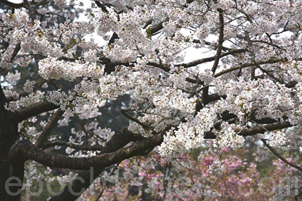 阿里山樱王就是90岁的吉野樱。(赖瑞/大纪元)