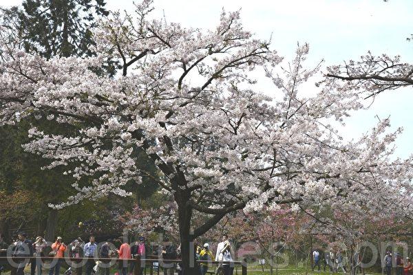 阿里山樱王是最早盛开的吉野樱,每年樱花是否盛开的指标。(赖瑞/大纪元)