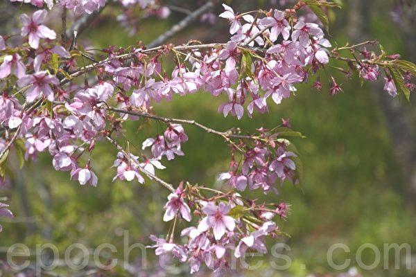 千岛樱粉红色花瓣。(赖瑞/大纪元)