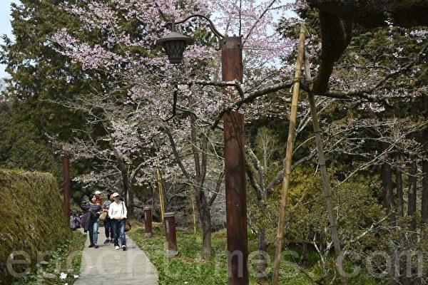 阿里山游客每年3月中旬樱花开放赏花游客络绎不绝。(赖瑞/大纪元)