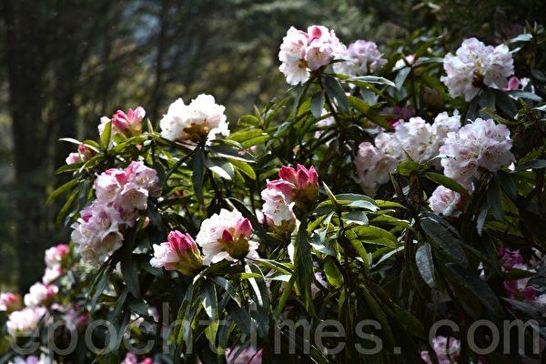 森式杜鹃的风采优雅,花朵饱满。(赖瑞/大纪元)