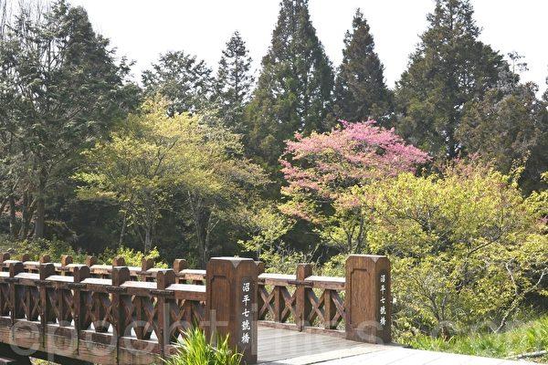 沼平公园也是赏樱好景点,八重樱盛开。(赖瑞/大纪元)