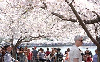 4月8日至12日,美国首都华盛顿DC樱花绽放最盛,全国各地民众涌向潮汐湖畔赏花。(李莎/大纪元)