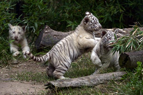 阿根廷布宜諾斯艾利斯動物園的三隻孟加拉小白虎,對一切都充滿好奇。(JUAN MABROMATA/AFP)