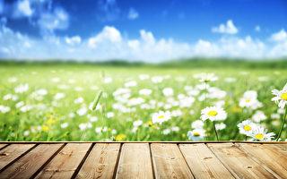 土地上長滿了雛菊花。(Fotolia)