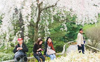 4月22日,游客们在布碌崙植物园游玩赏樱花。(王依澜/大纪元)