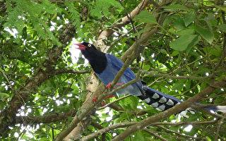 內雙溪現鳥跡  藍鵲逍遙遊
