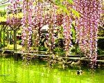 春天时分,紫藤花开,朵朵跹跹飞梦来,一帘幽梦影,纤纤动人心。(容乃加/大纪元)
