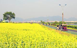 艳阳天,家乡的油菜花铺天盖地,播种过的原野上,春麦茸茸地绿了一层(全宇/大纪元)