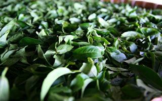 阿里山高山茶采下的茶叶芽叶清香扑鼻。(无藏茶提供)