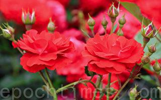 组图:韩国首尔大公园玫瑰花庆典
