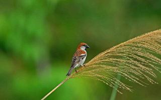 西拉雅國家風景區管理處轄區關子嶺碧雲寺周邊分布的一級保育類野生動物山麻雀的可愛模樣。(西拉雅國家風景區管理處提供)