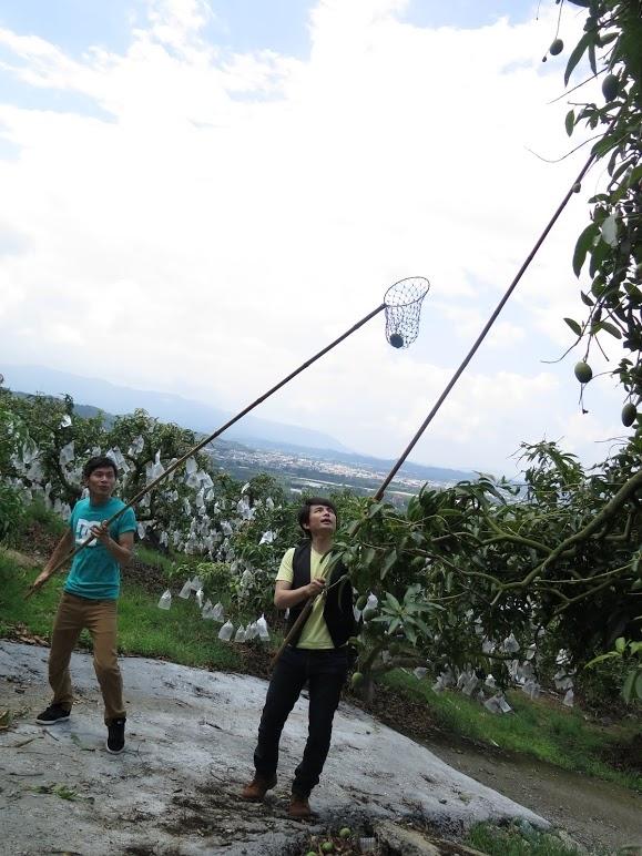 姚淳耀(左)与孙协志为节目《在台湾的故事》出外景采芒果。(三立提供)