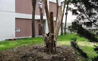 已被山老鼠断根的百年九芎目前已运回林务局埔里工作站栽植。(南投林管处提供)