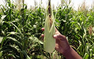 美媒:中國人爲何竊取美國玉米種子?