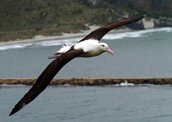 皇家信天翁是目前最大的鸟类。(Phil Walter/Getty Images)