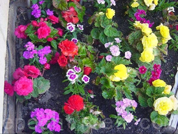 台階旁壘的花池剛種好花時拍的照。(李文笛攝)