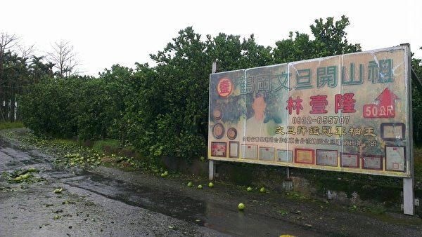 鹤冈文旦落果7成,图为林壹隆果园。(林心杰提供)