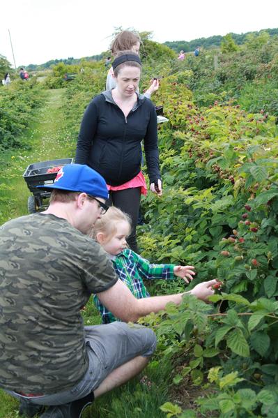北美最流行的蓝莓——公爵(Duke)马上就要熟了。 (大纪元)