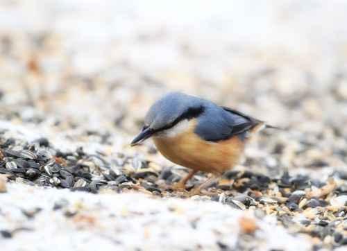 金丝雀鹝草籽(Canary Seeds)。(图:Fotolia)