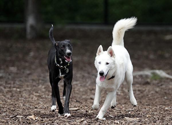 一項研究發現,狗和人一樣,也有嫉妒心。 (Bruce Bennett/Getty Images)