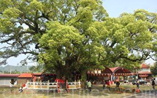 700歲樟樹公病了    台日樹醫生聯手搶救
