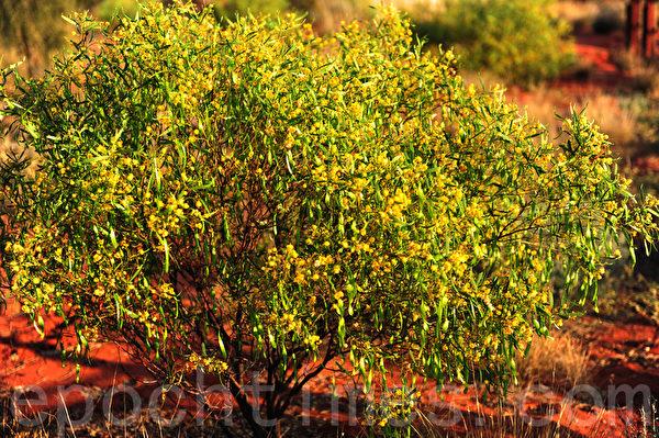 盛开在红土壤上的金合欢,当之无愧的澳洲国花。(简玬/大纪元)