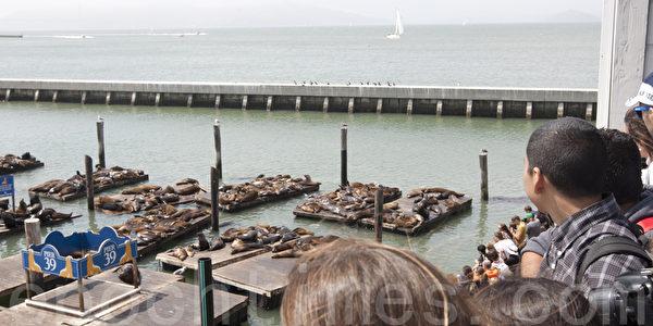 時隔兩個月 海獅重返舊金山碼頭