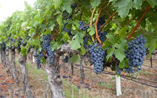 加州大旱 北加州纳帕葡萄酒安然吗?