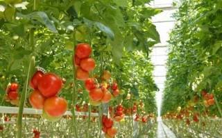 西红柿是菟丝子的宿主植物。(fotolia)