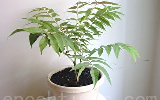 北美生活:種香椿樹