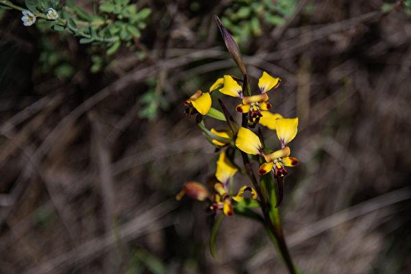 西澳珀斯遠郊的初春,野花已悄然綻放。(林文責/大紀元)