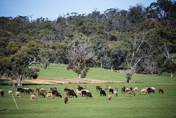 西澳珀斯遠郊的初春牧場。(林文責/大紀元)