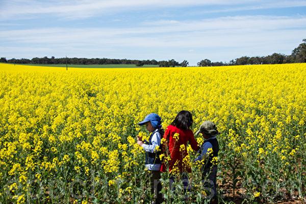 西澳珀斯初春遠郊,傾醉與花海。(林文責/大紀元)