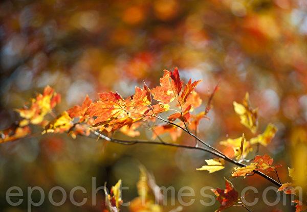 每年入秋后,纽约中央公园的树叶变开始转红。(戴兵/大纪元)